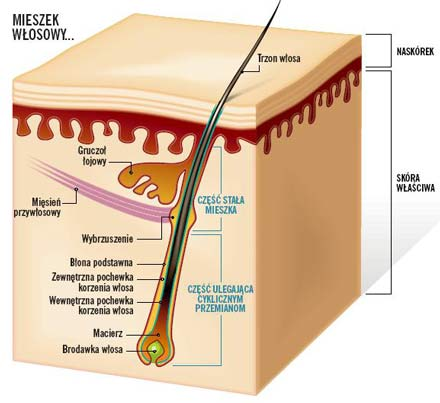 Anatomia i fizjologia włosa
